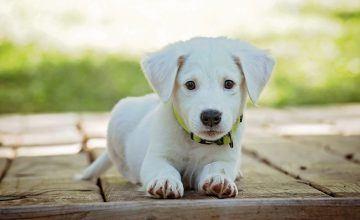 puppy 1903313 1920 360x220 - Hundehalterhaftpflichtversicherung - Warum, was und wo!