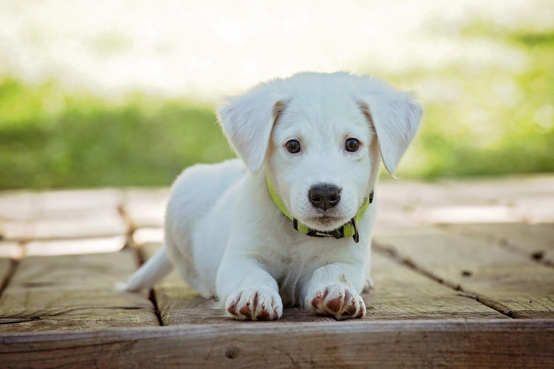 puppy 1903313 1920 - Hundehalterhaftpflichtversicherung - Warum, was und wo!